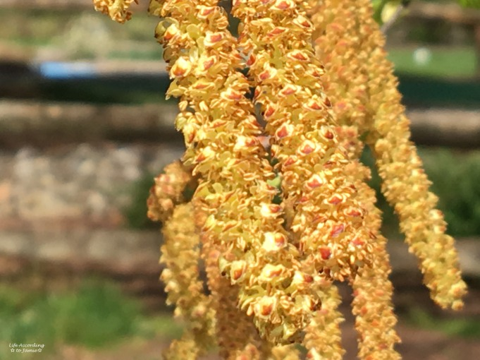 Yellow Flowering Tree 1