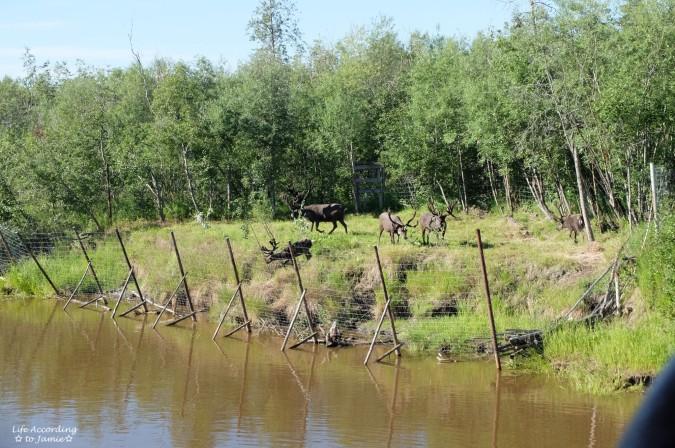 Fairbanks - Reindeer