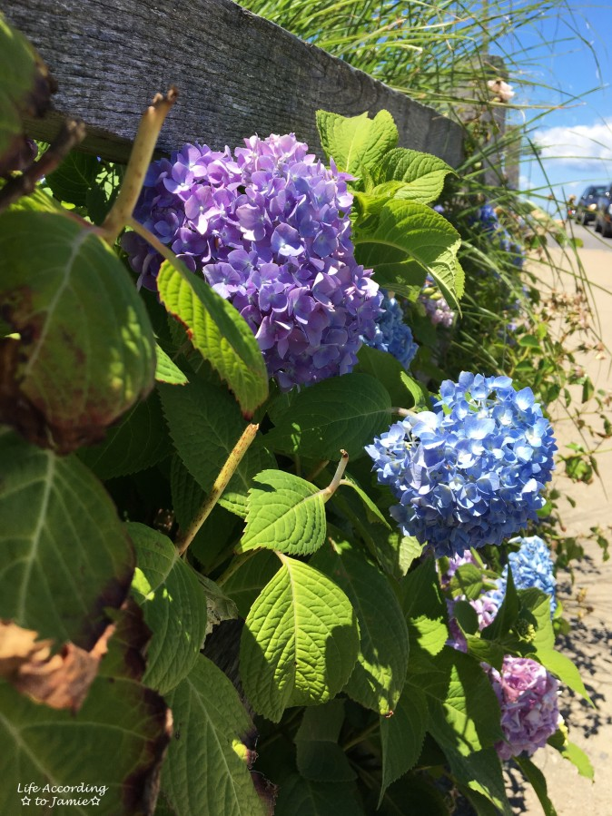 Martha's Vineyard - Hydrangeas