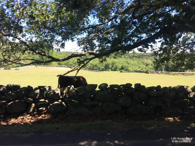 Martha's Vineyard - ox